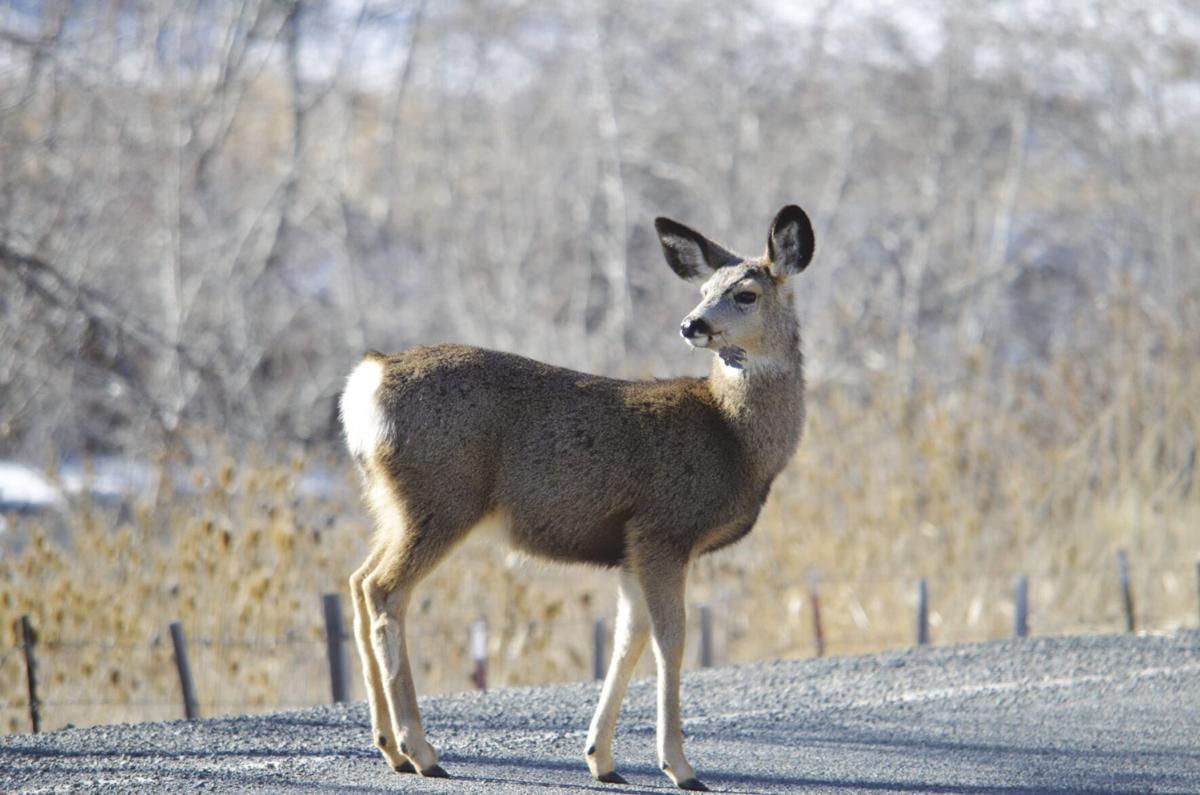 Deer on road.jpg