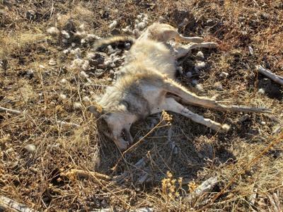 Wolf shot