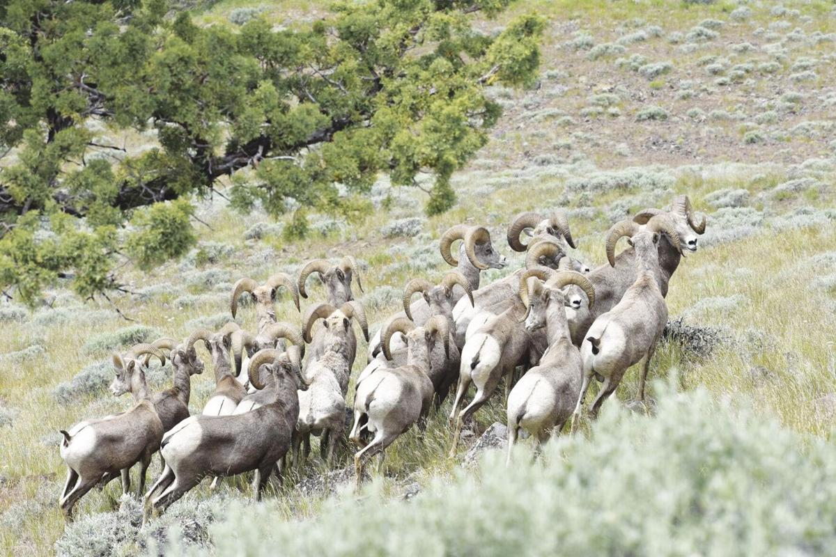 Bighorn rams.jpg