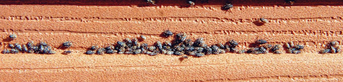 Baker City bug infestation