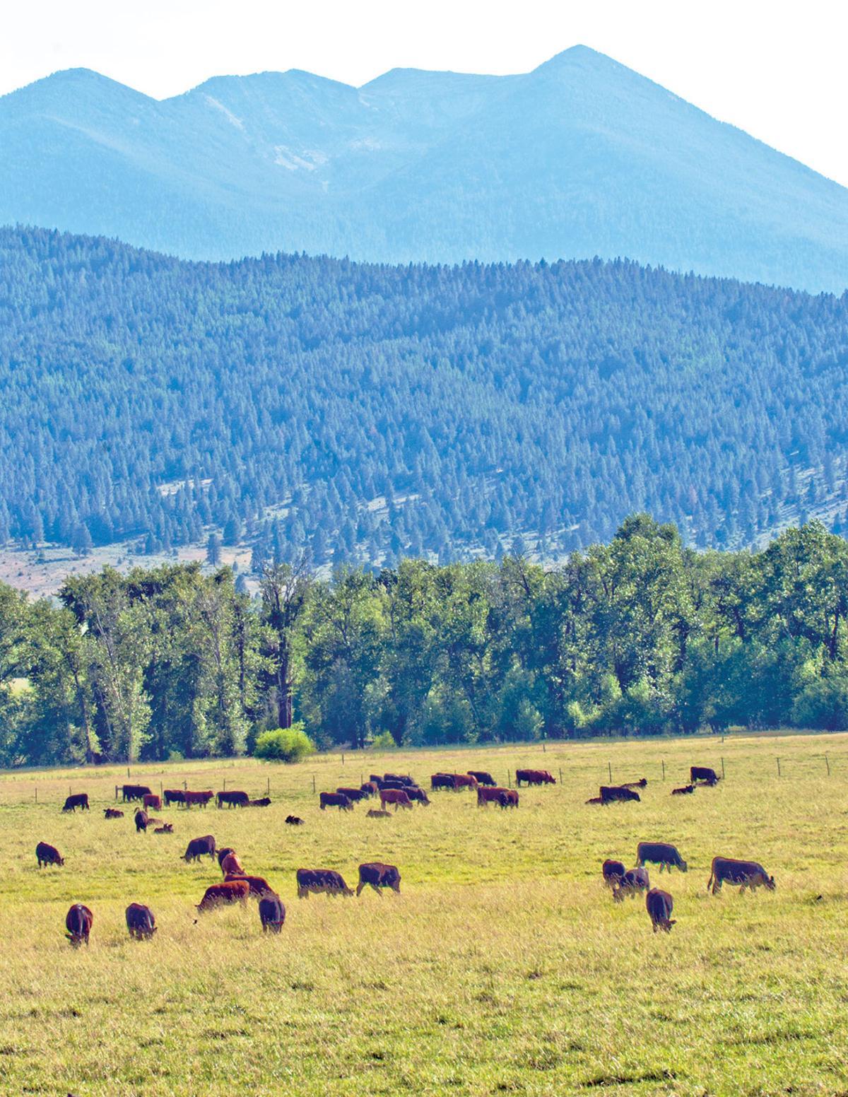 Cattle-PastureMts-jcFile.jpg