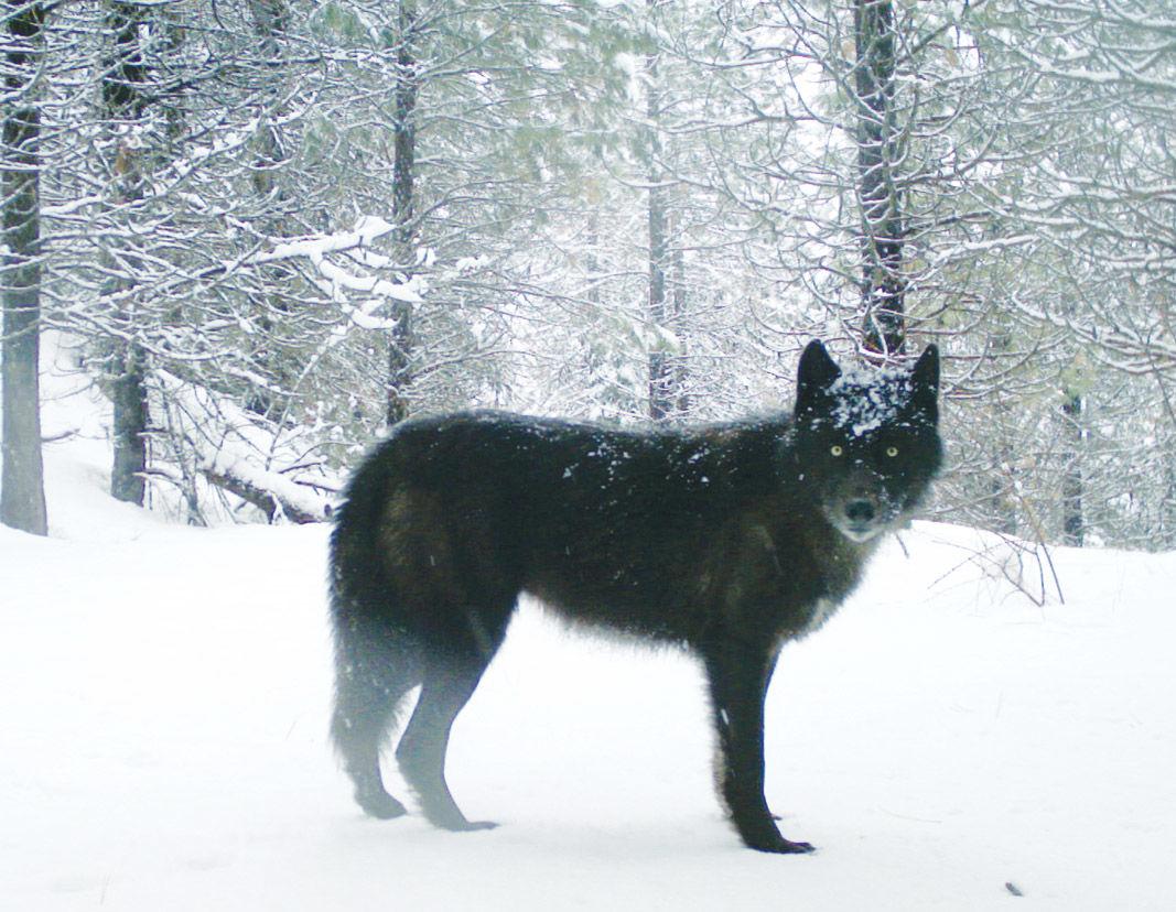 Wenaha-wolf.jpg