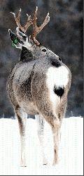 Deer herds weather winter in fine shape