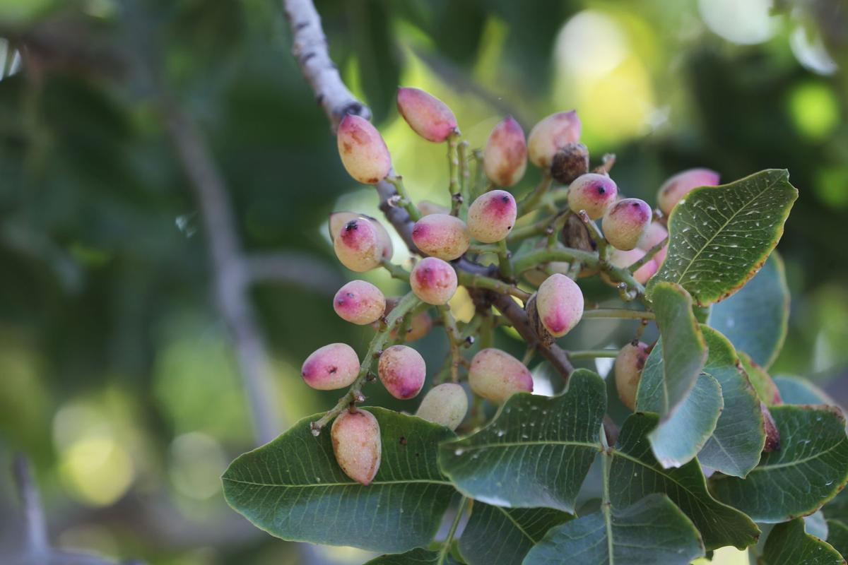 20191010-bc-pistachios (copy)