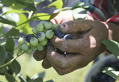 UFW_Blueberry_Workers 8