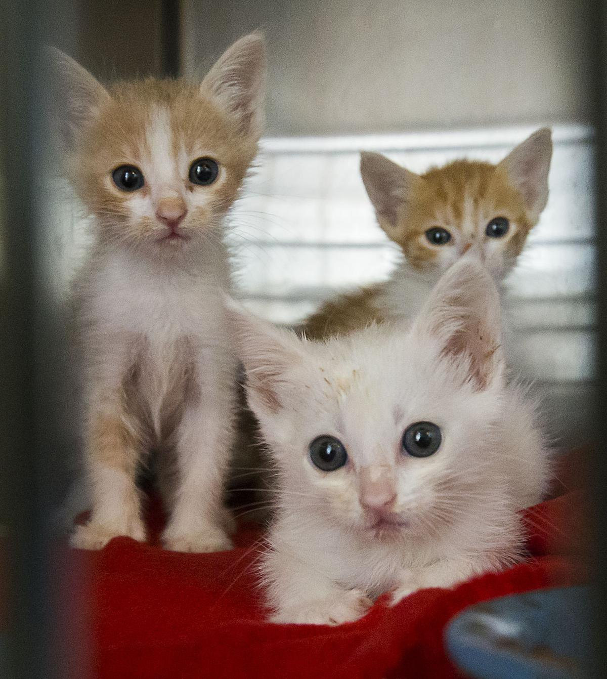 Kern County Animal Services Opened Its New Kitten Nursery Last Week Kittens Too Young For Adoption Like These Three Litter Mates Will Have The Chance To