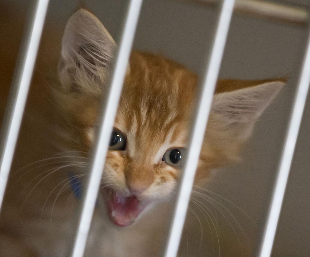 This Kitten At The Kcas Nursery Wants To Be Heard Volunteers Are Needed Help Staff Care For These Kittens Until They Old Enough