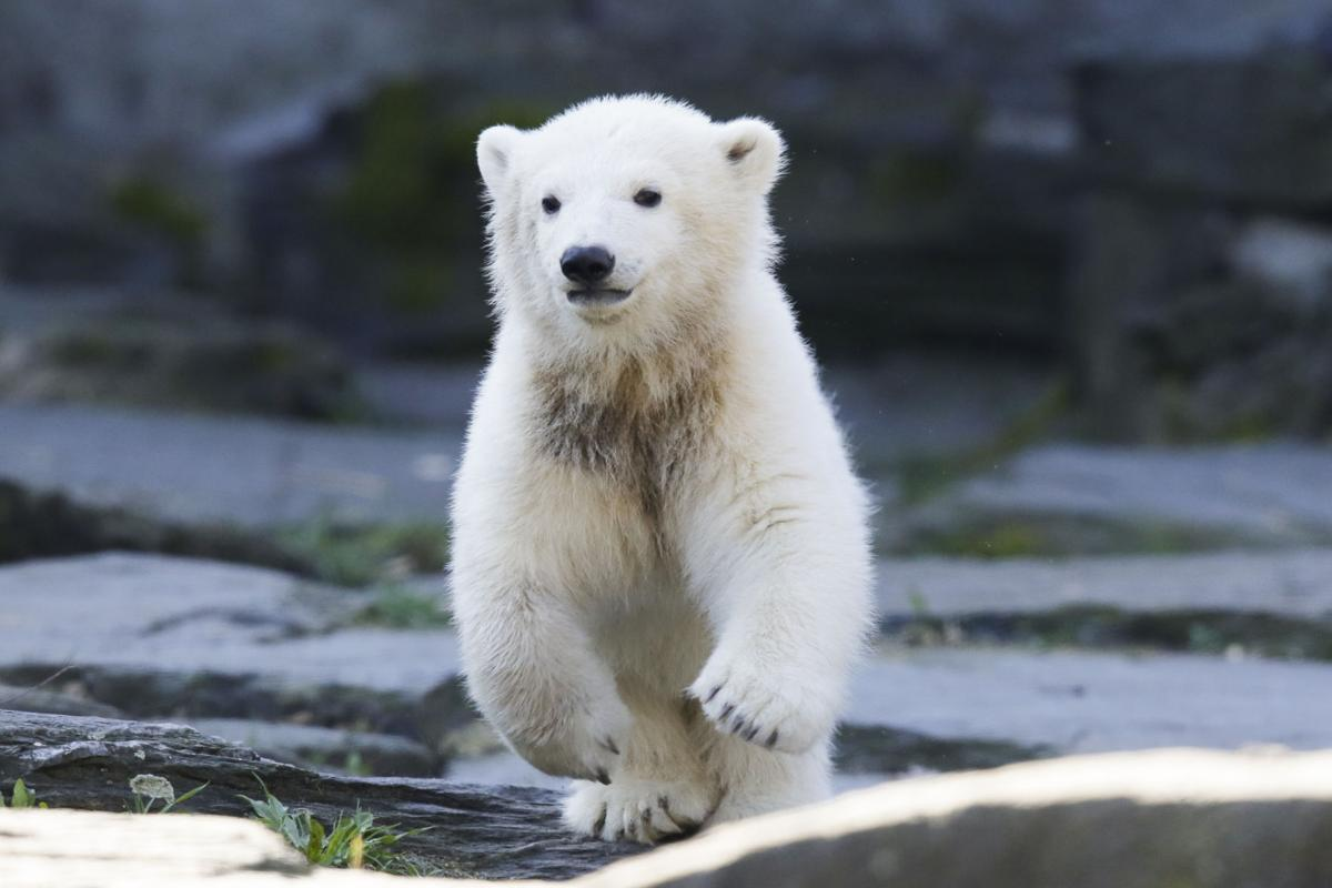 Germany Polar Bear