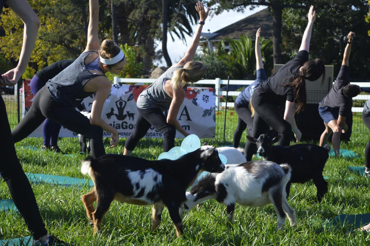 Goat Yoga-1