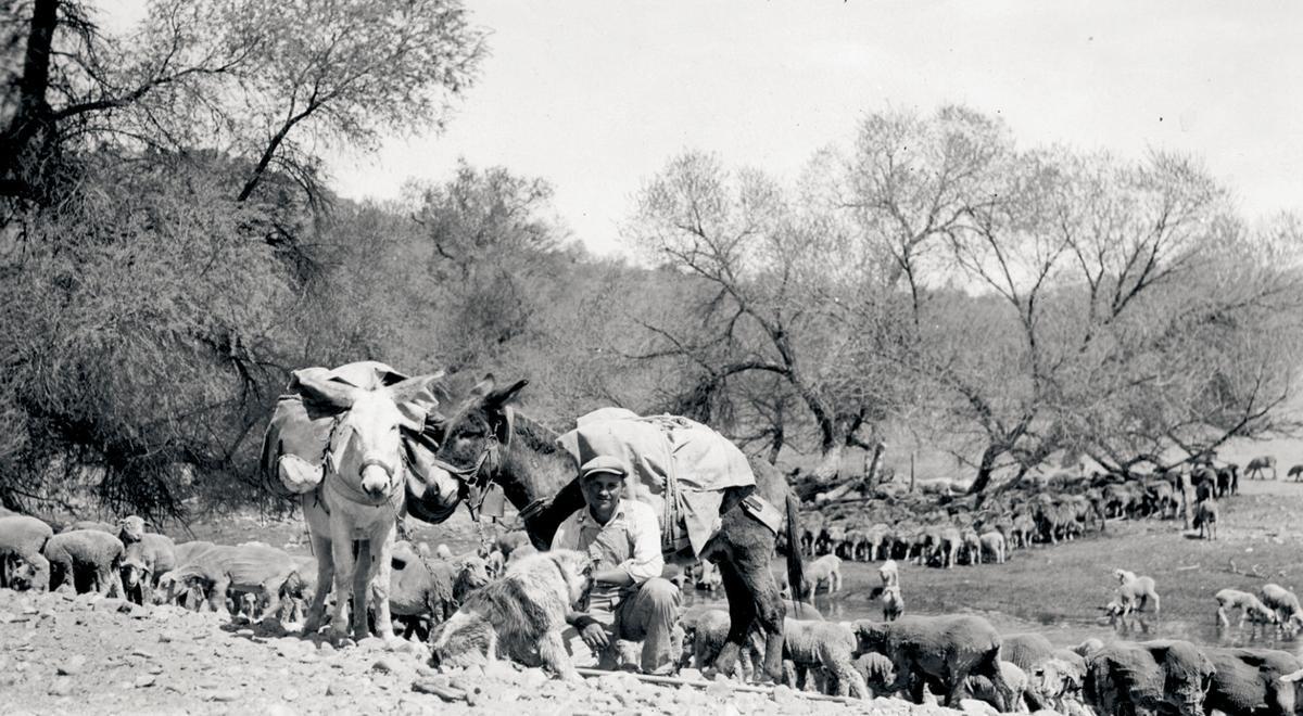 9 - Shepherd and sheep at Poso Flat.jpg 150th