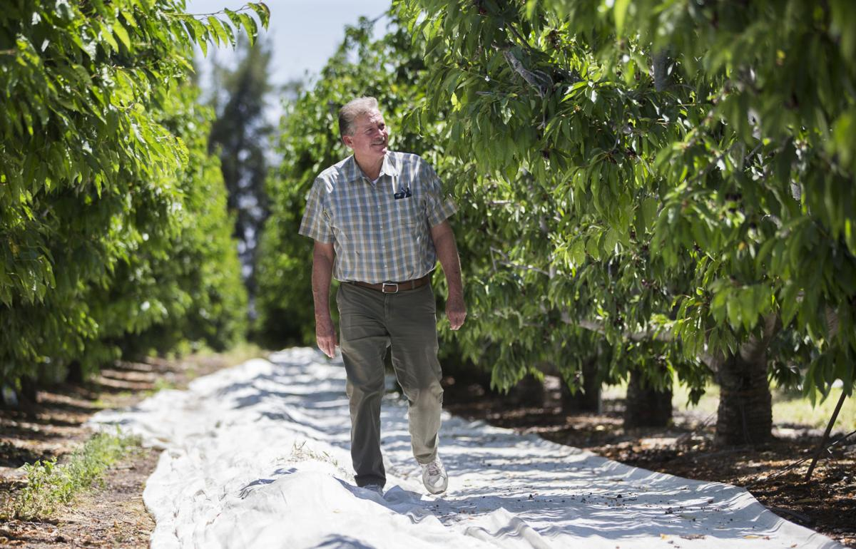 Steve Murray In His Cherry Orchard Just South Of Highway 58 On General Beale Road Had A Strong Yield This Year While Other Farmers The