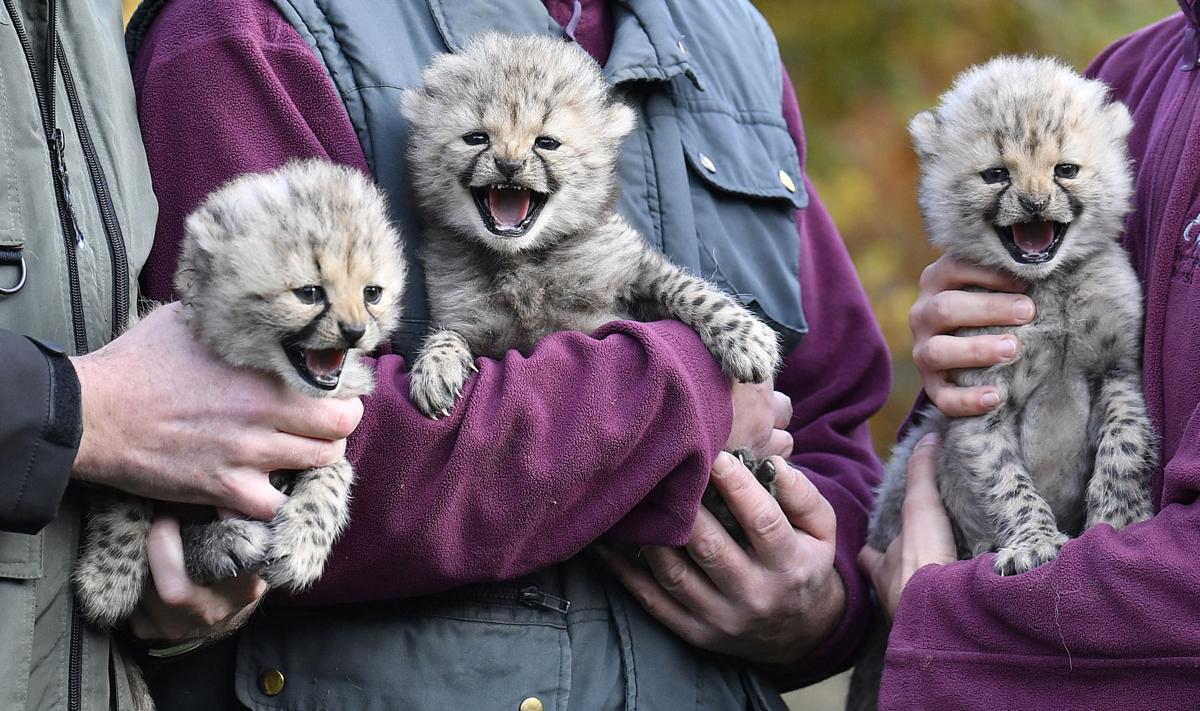 Germany Zoo Cheetah