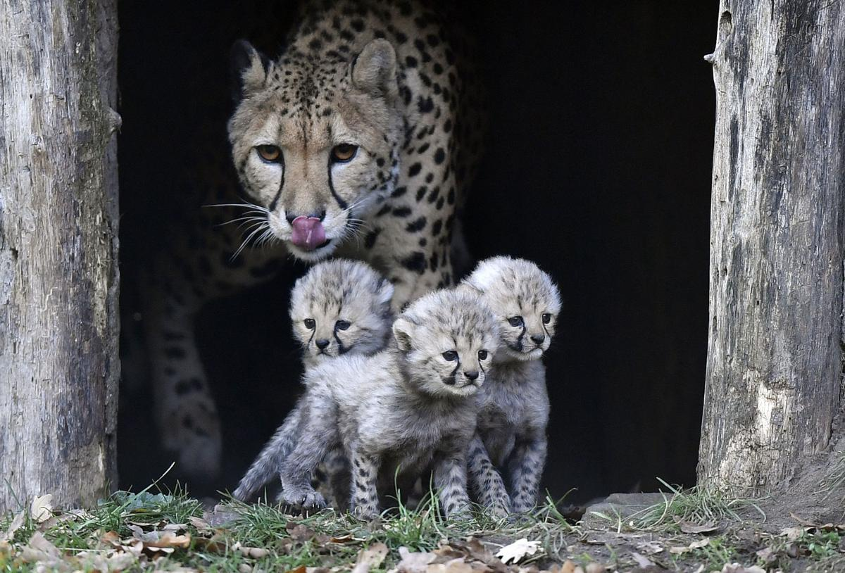 APTOPIX Germany Zoo Cheetah