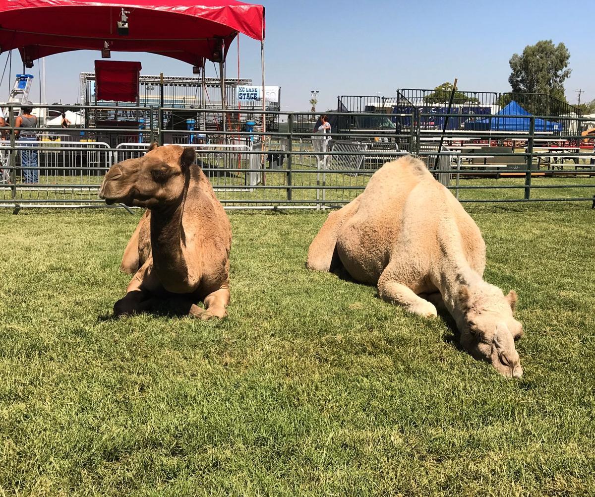Camel rides at Kern County Fair
