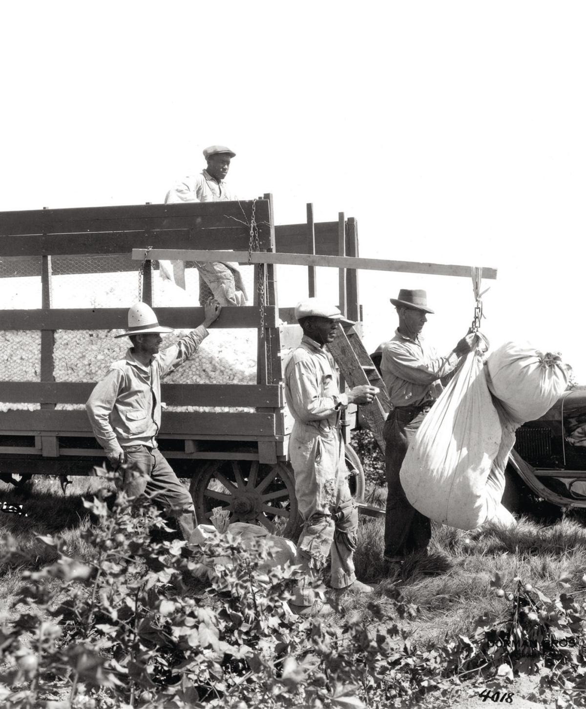 Weighing cotton in picking sacks in a Kern County cotton fi