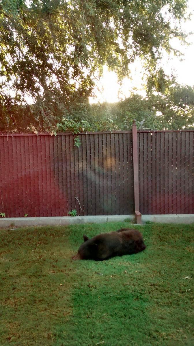 black bear dies following capture in east bakersfield wednesday