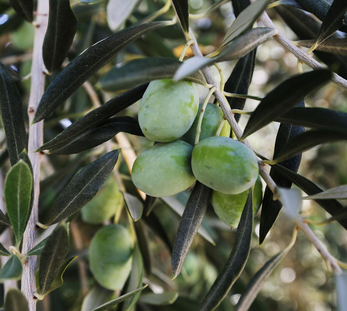 2019028-bc-oliveoil