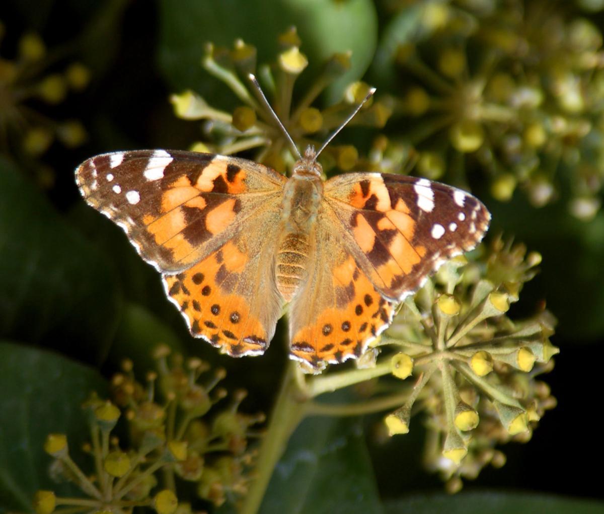 Pen in Hand #1496 - Butterflies on the Move 1.jpg