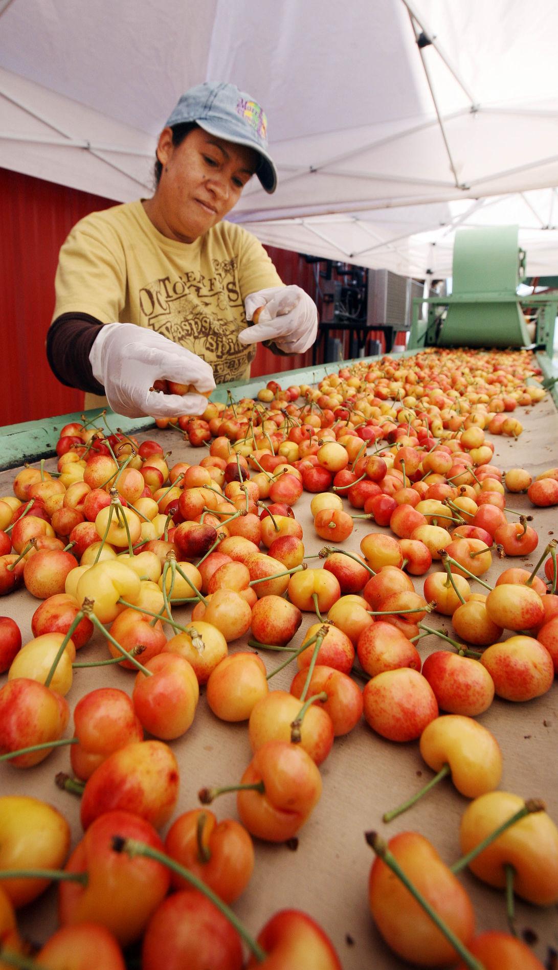 Murray Farm cherry