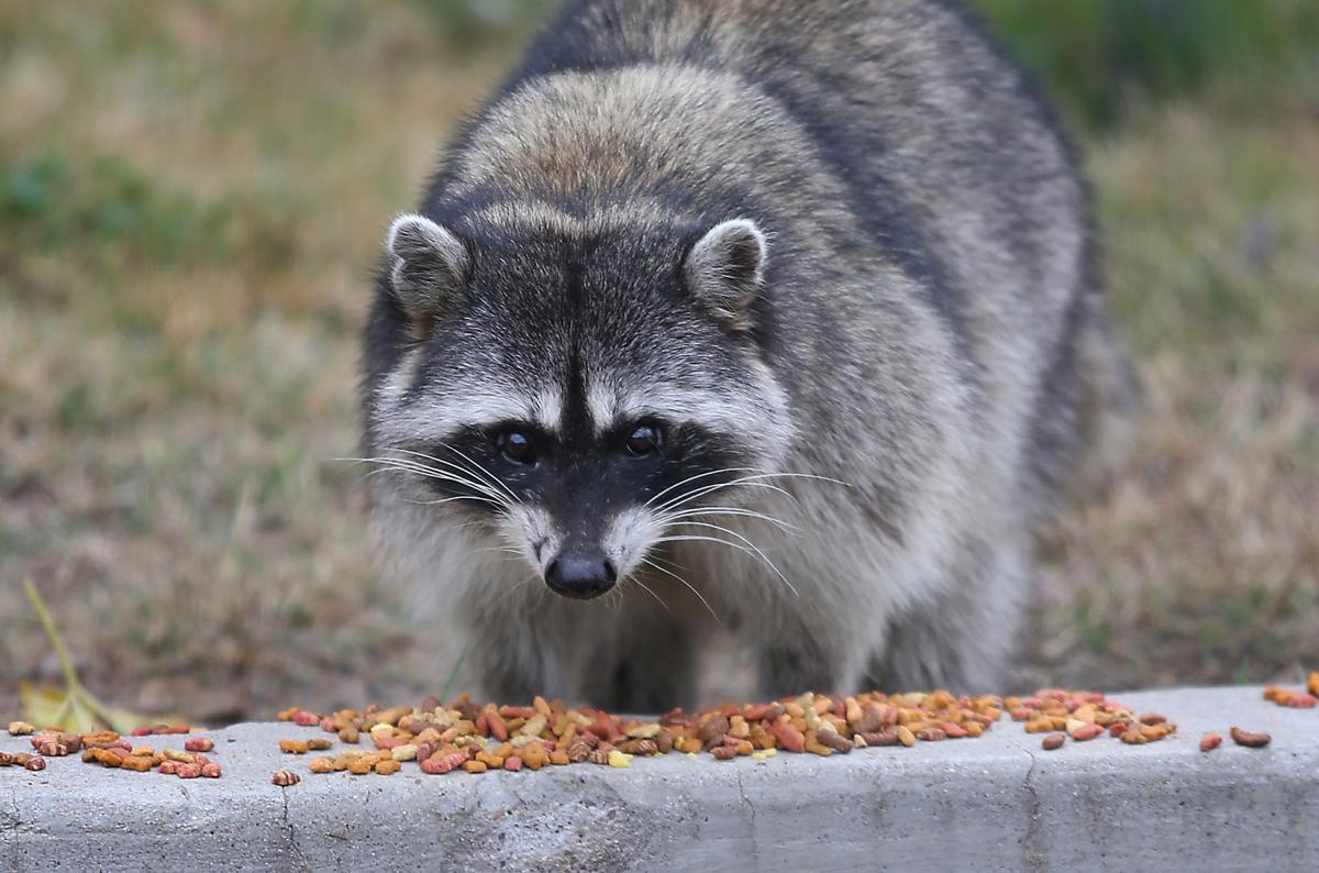 Raccoon at Hart Park