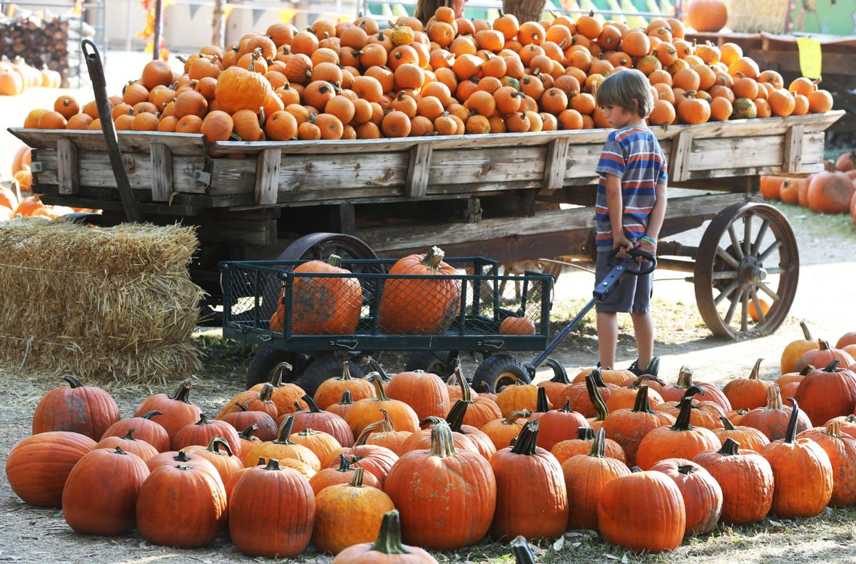 PHOTO GALLERY: Pumpkin shopping at Banducci's Family Pumpkin Patch