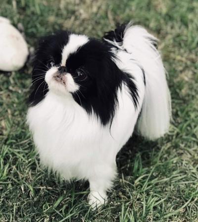 Missing show dog