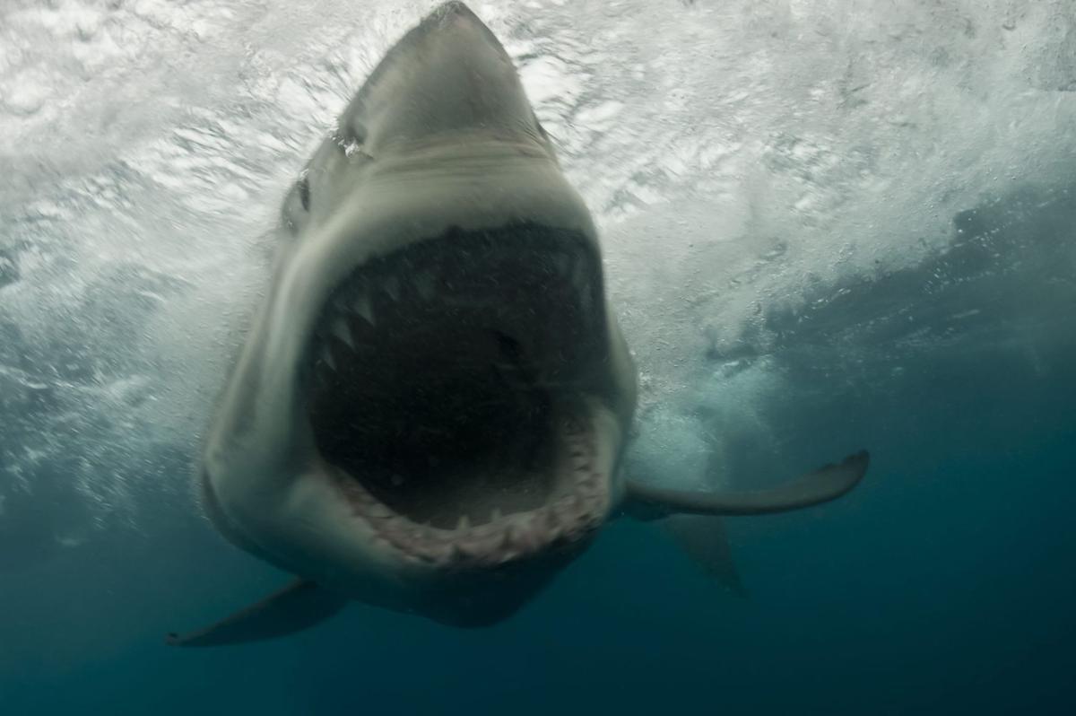 Benham shark