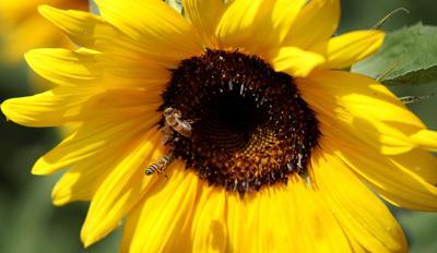 782599618-data.jpg-5 sunflower herb col