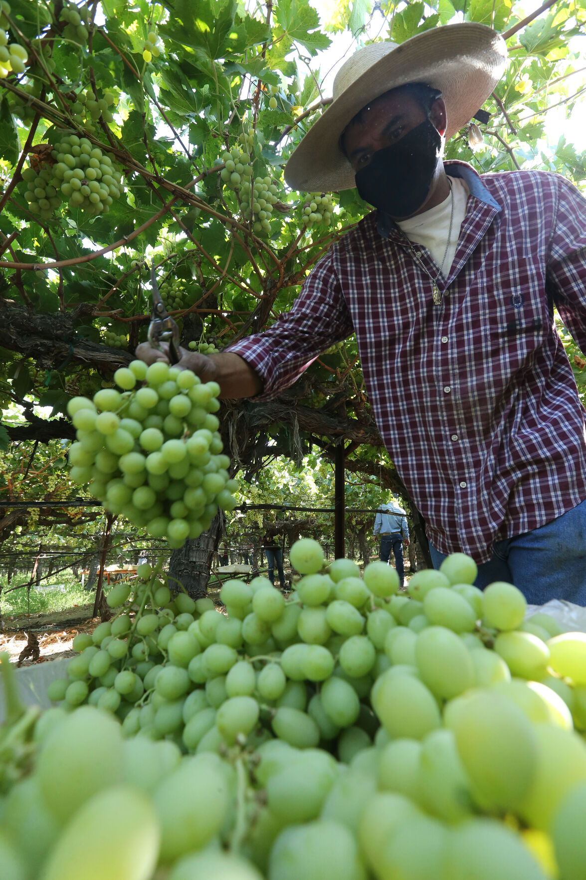 20210905-bc-grapes