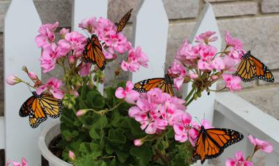 Baldwin resident shares her monarch butterfly passion