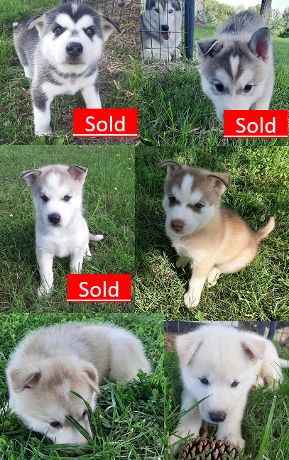 AKC Siberian Husky Puppies For Sale image 1