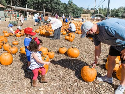 Bay Area Pumpkin Patches