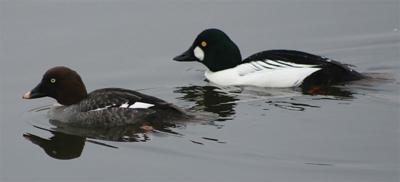 Common goldeneye has heart of gold when young are concerned