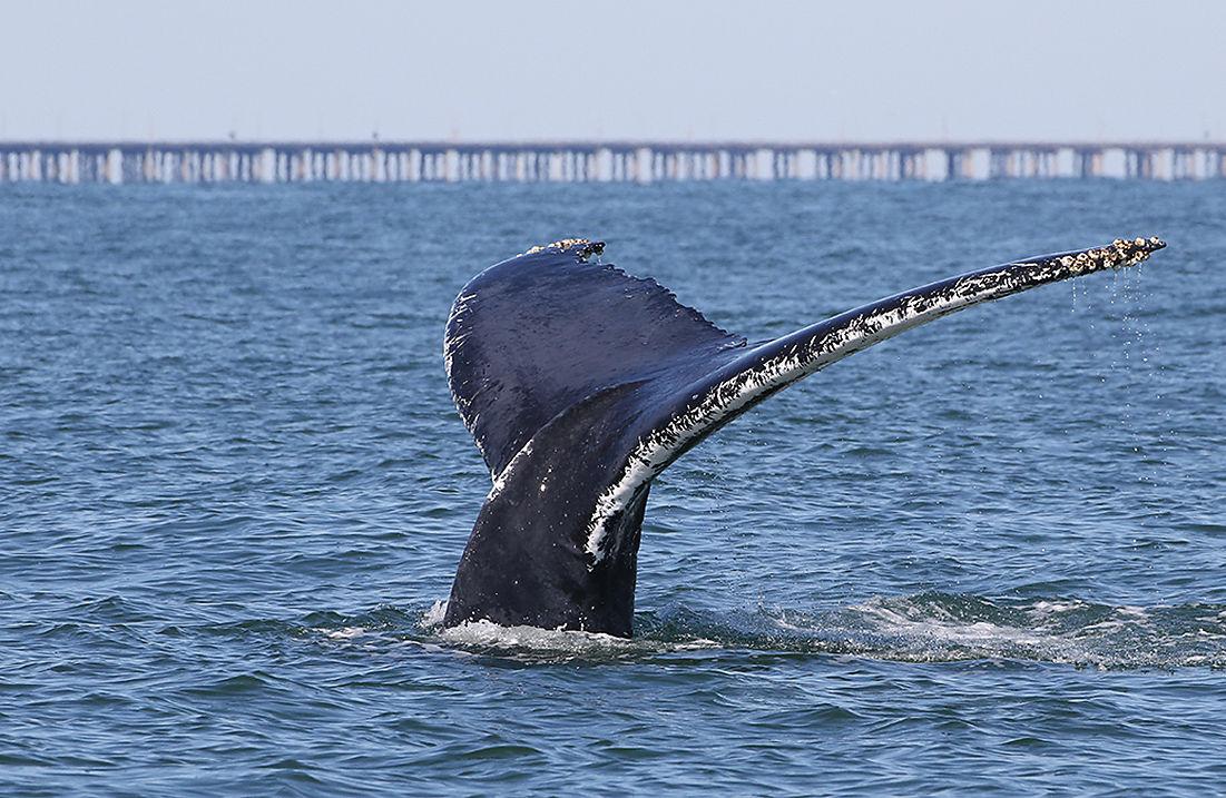 Whale by Chesapeake Bay Bridge Tunnel