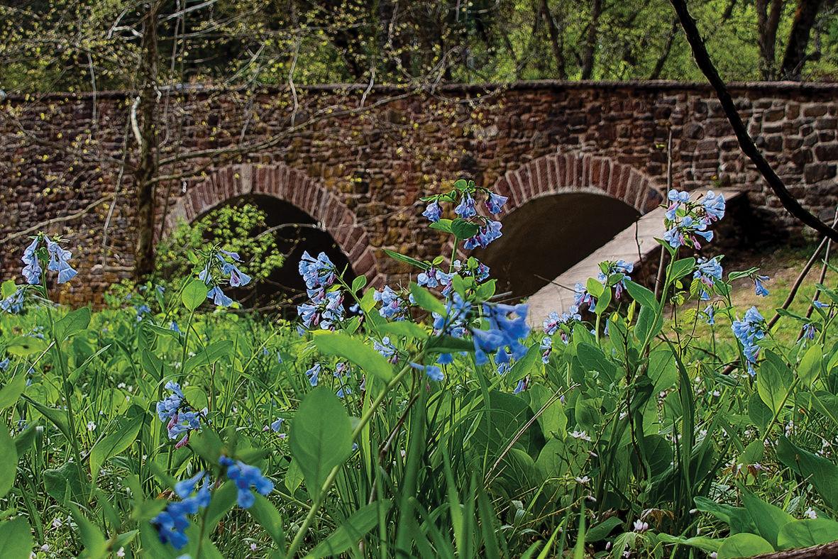 Virginia bluebells at Stone Bridge, VA
