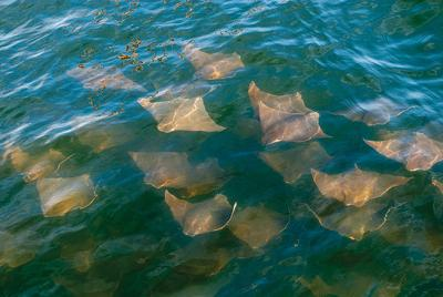 MD bow-fishing tournament for cownose rays renews controversy