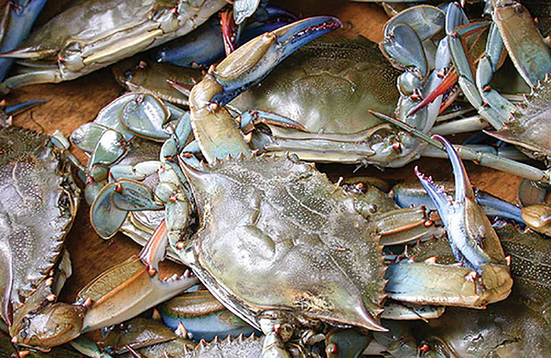 Blue crab a Chesapeake favorite for predators in and out of water