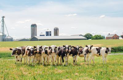 Cows on Pennsylvania farm