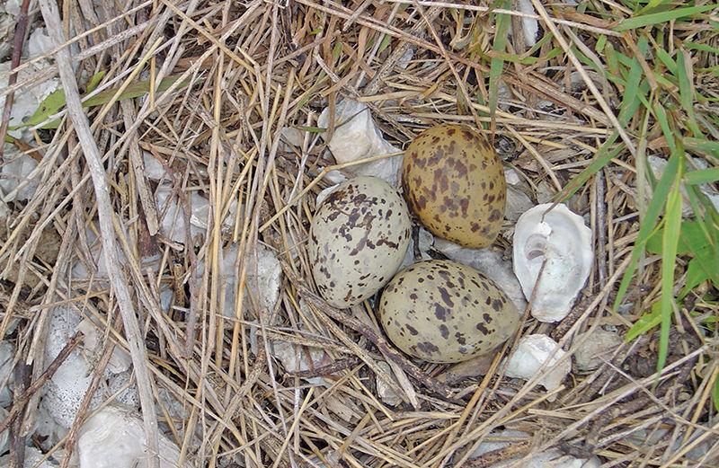 Common tern eggs