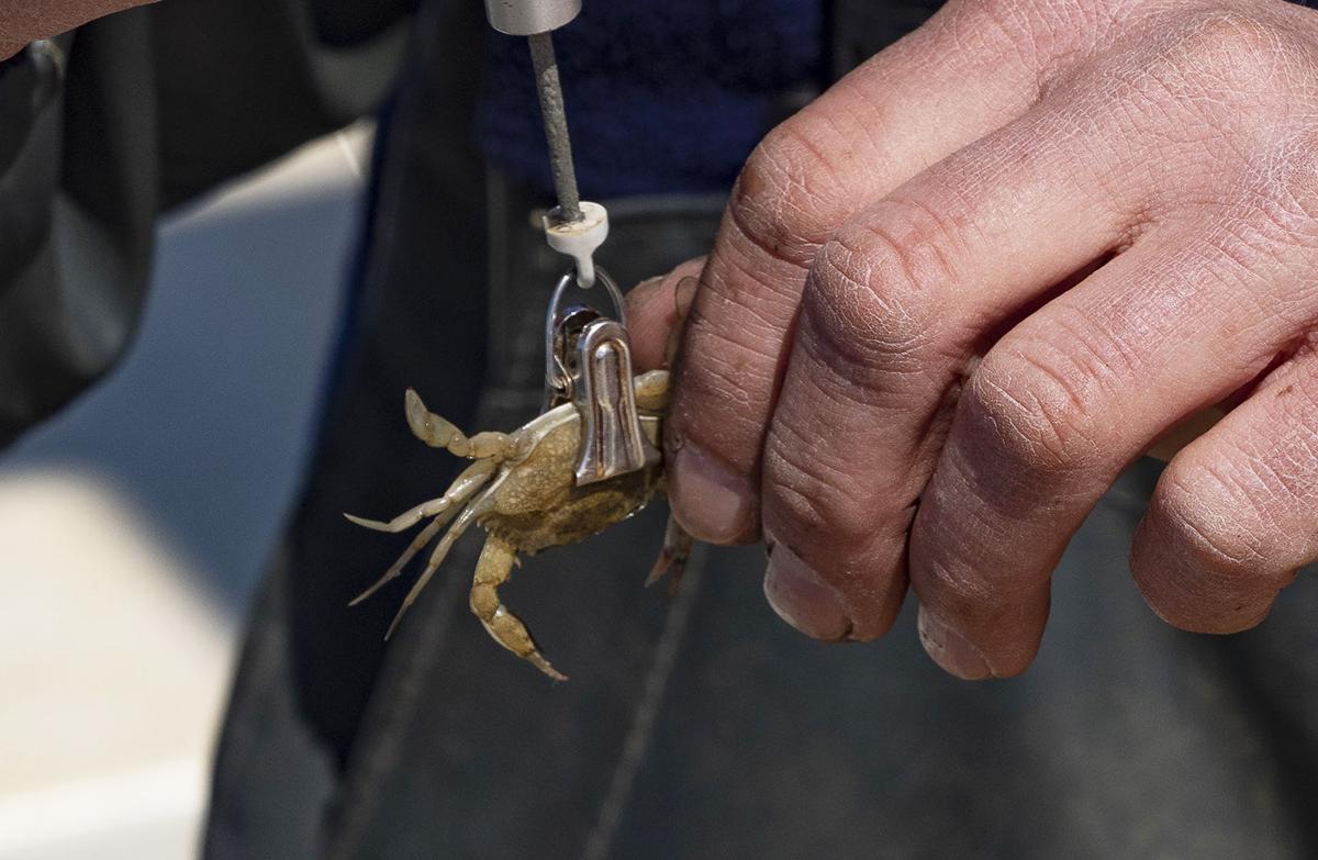 Juvenile blue crab