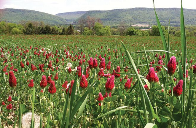 Clover cover crop in PA