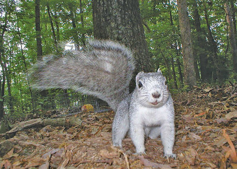 Delmarva fox squirrel scampers off endangered species list