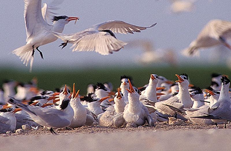 Royal tern on Shanks Island
