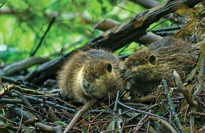 Young beavers