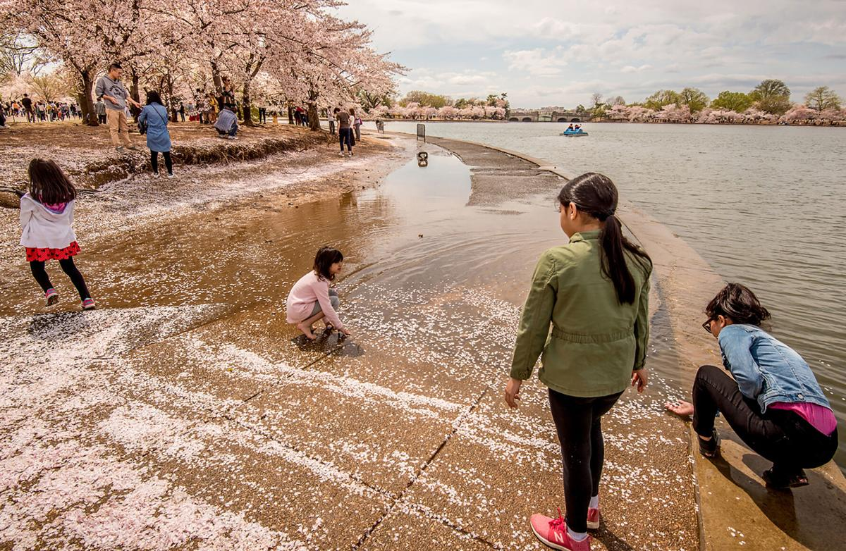 Flooding at Tidal Basin during Cherry Blossom Festival