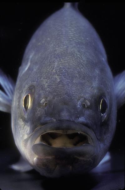 Striped bass closeup