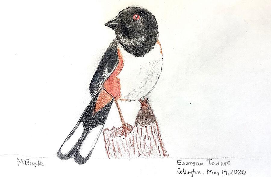 Eastern towhee sketch