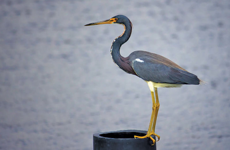 Tricolored heron adult after molting