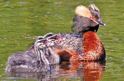 Its flashy plumage is fleeting, but horned grebe is charming nonetheless