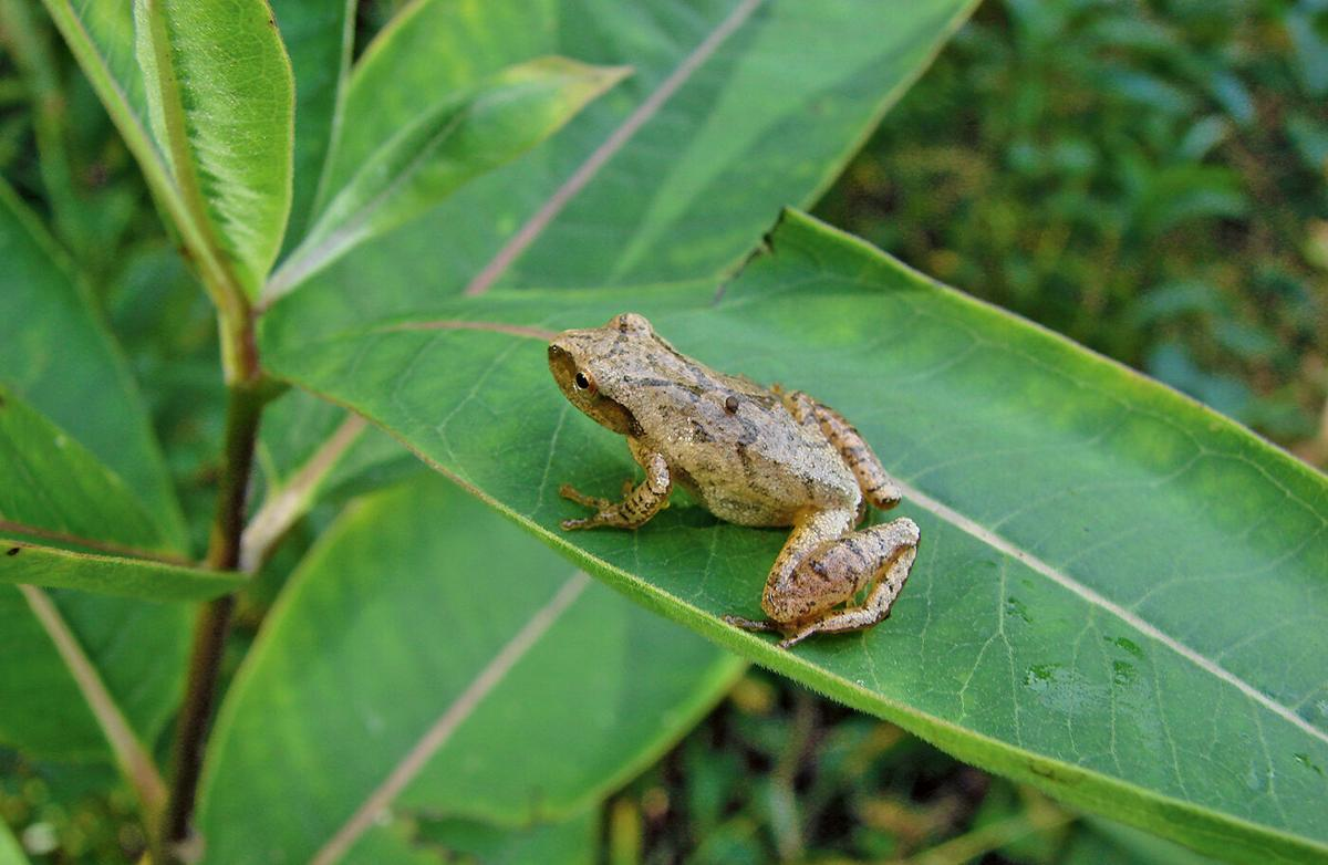 Spring peeper on leaf